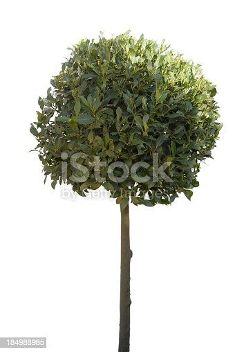 Bay tree isolated on white with a hint of sunlight tp right. Ideal for illustrating wealth.