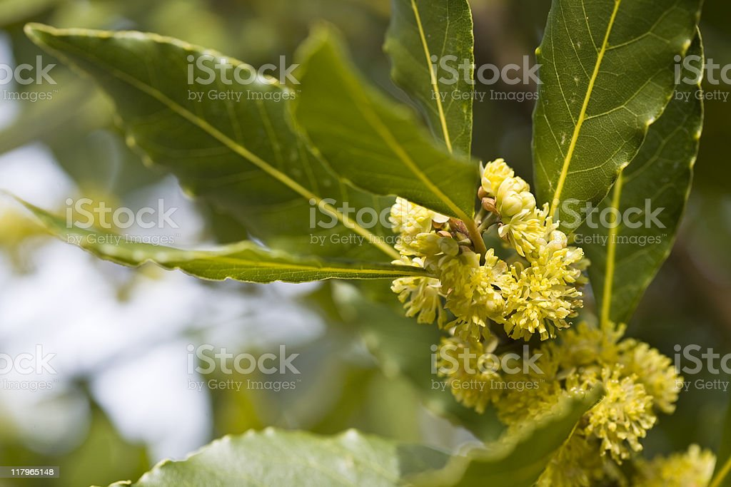 Bay tree royalty-free stock photo