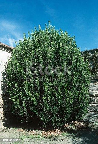Bay tree in a garden Laurus nobilis