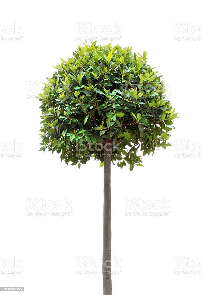Bay tree stock photo