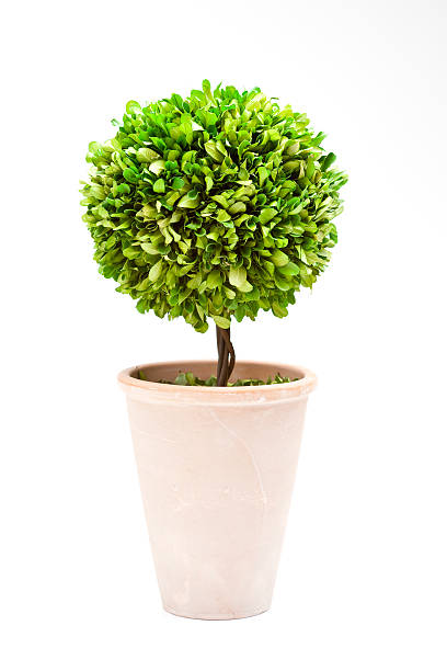 Bay Tree Topiary stock photo