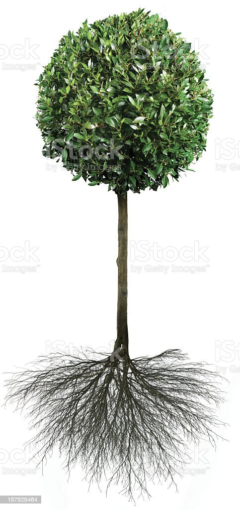 Bay Tree With Roots royalty-free stock photo