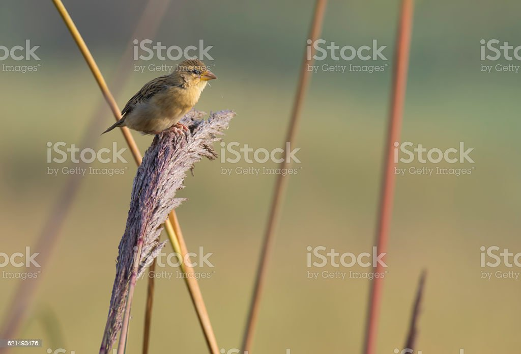 Baya Weaver feeding photo libre de droits