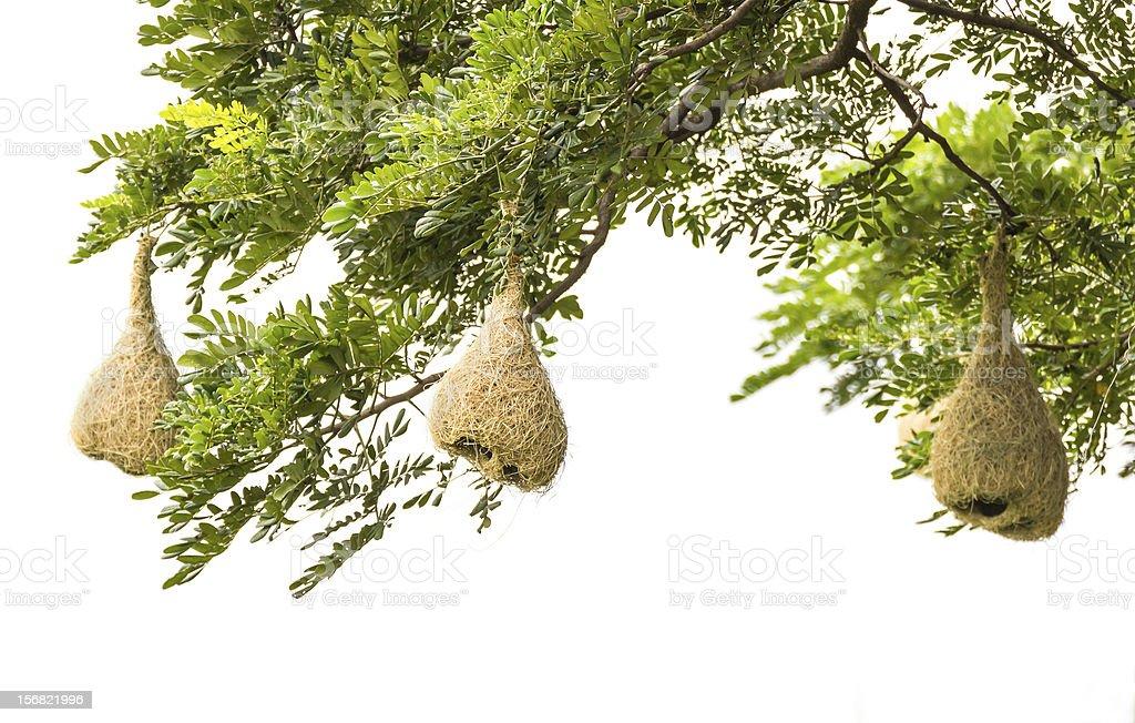 Baya weaver nest royalty-free stock photo