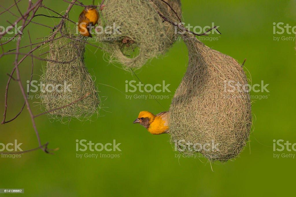 Baya weaver with nest colony stock photo