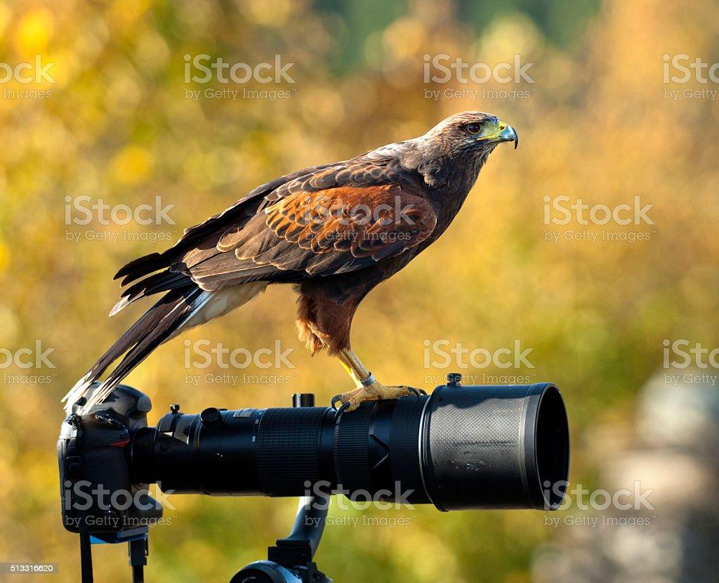 Bucht geflügelten Falke auf ein Glas – Foto