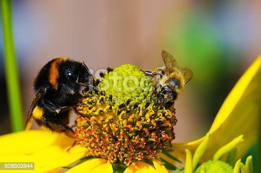 Bumble bee,bee and Wasp on Ehrenpreis,Eifel,Germany.