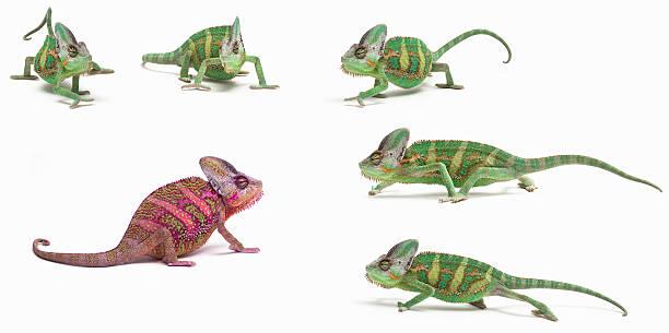 być różne  - kameleon zdjęcia i obrazy z banku zdjęć