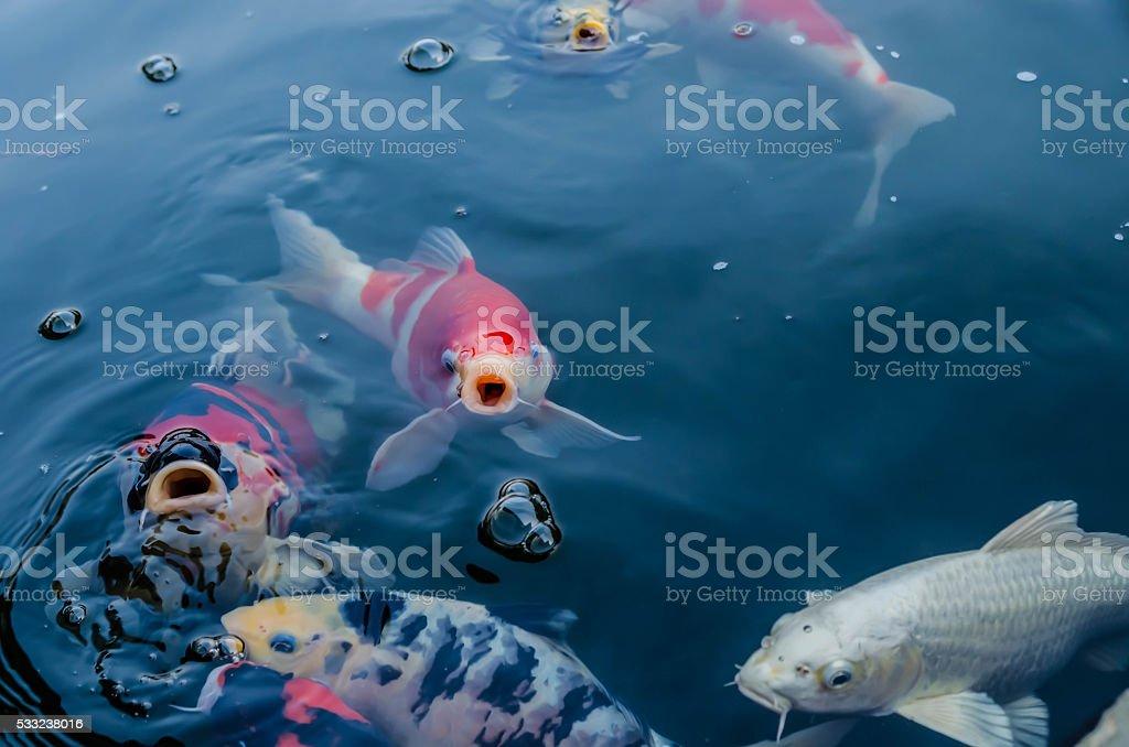 be hungry koi fish stok fotoğrafı