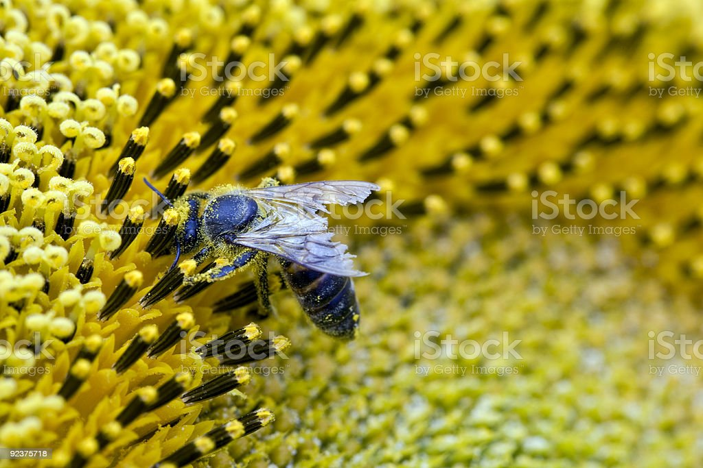 Be on sunflower royalty-free stock photo