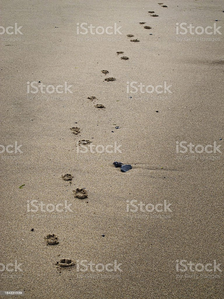 Beach and dog paw prints in sand stock photo