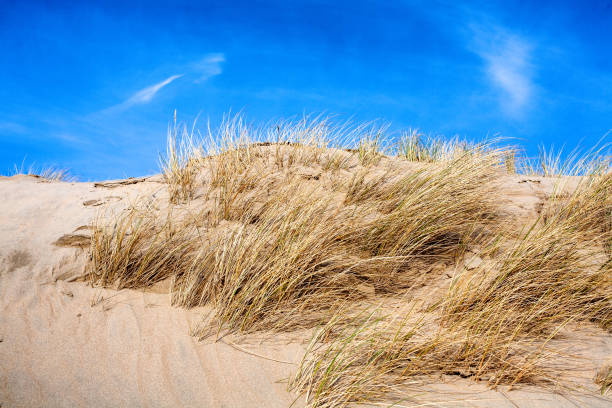 Beach and dunes with beachgrass in spring Beach and dunes with beachgrass in spring verbinding stock pictures, royalty-free photos & images