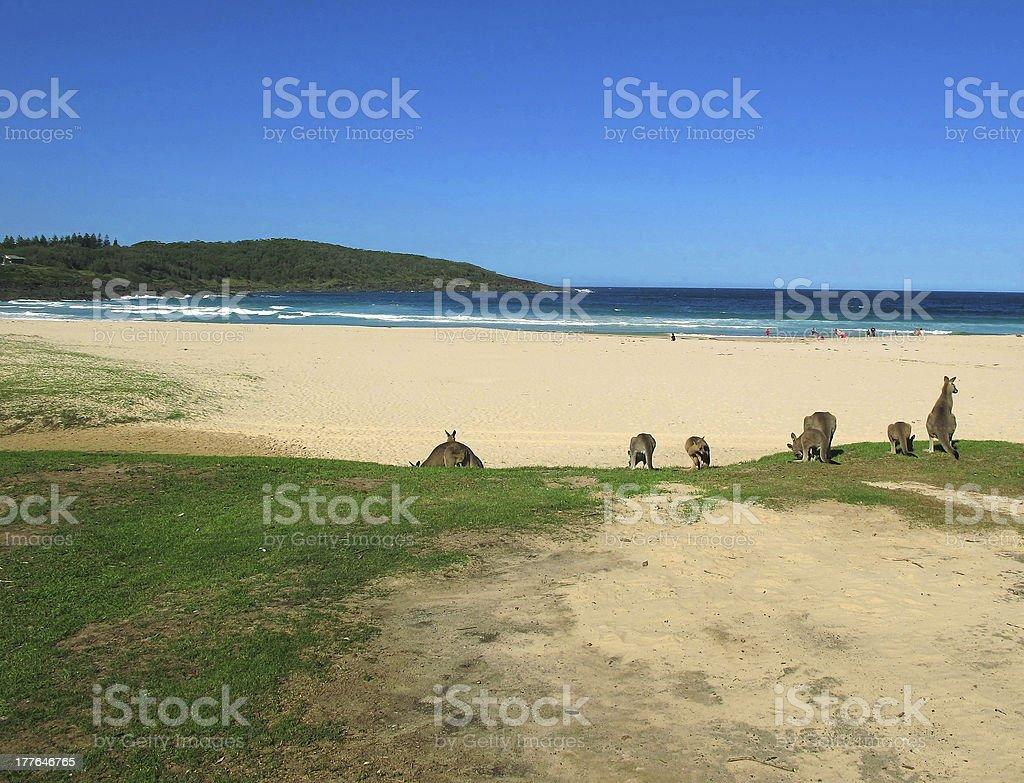 beach and kangaroo royalty-free stock photo