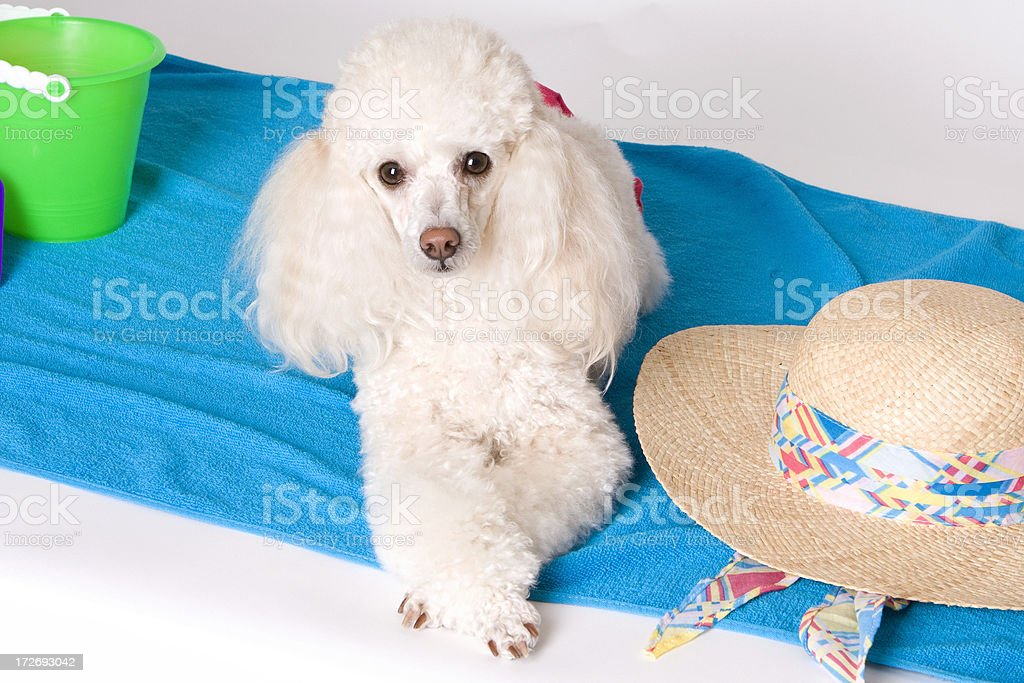 Beach Baby Sun Bathing Poodle royalty-free stock photo