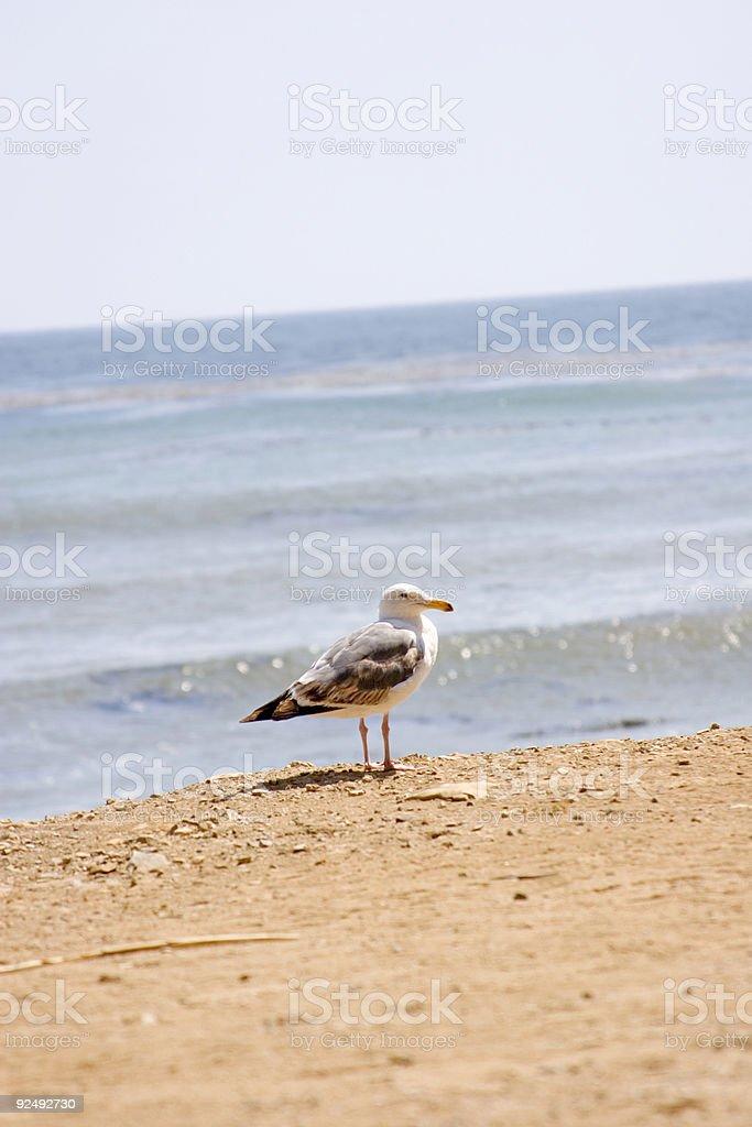 beach bird on the shore line royalty-free stock photo