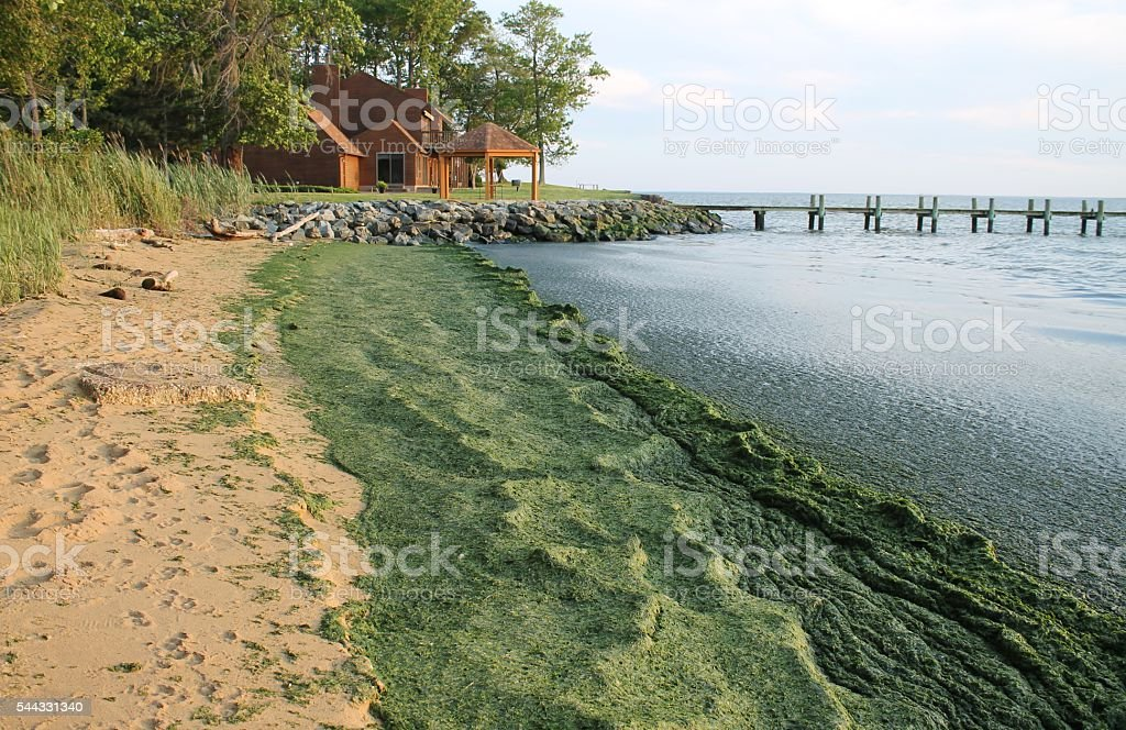 Beach covered in algae stock photo