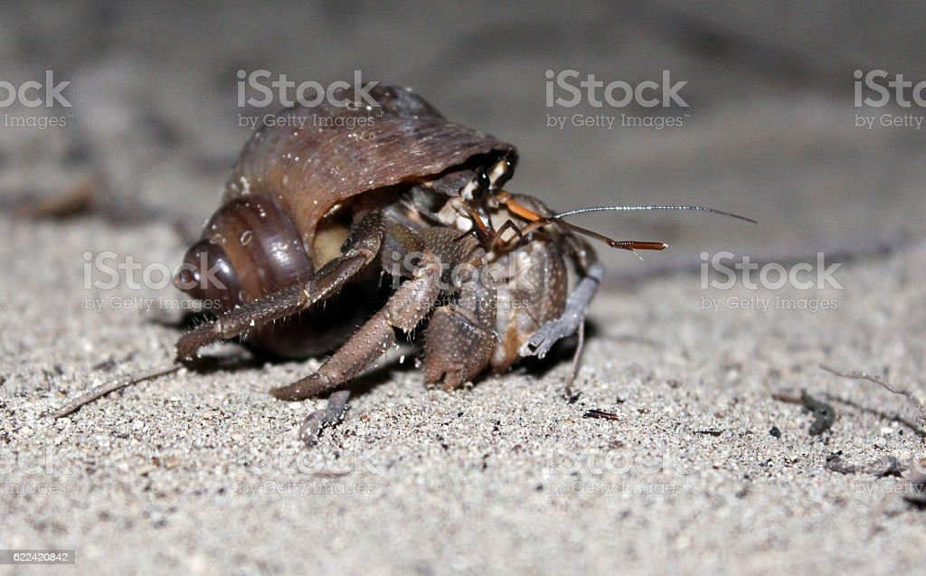 Beach crab in a shell stock photo