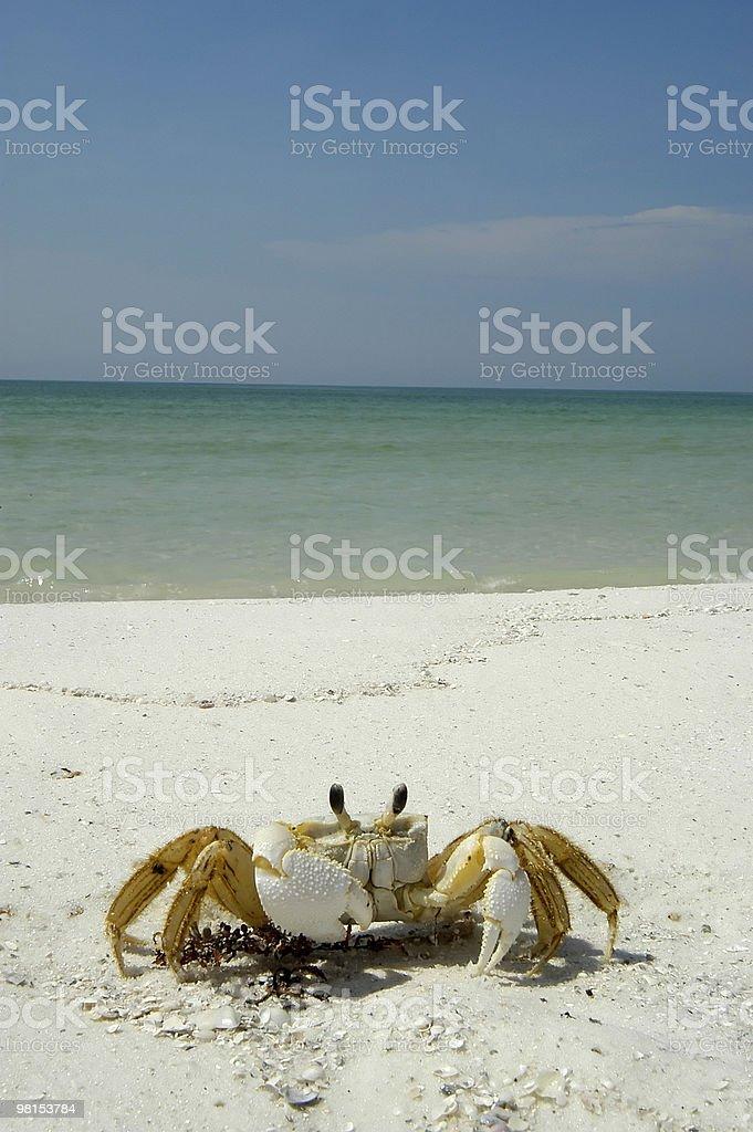 Beach Crab royalty-free stock photo