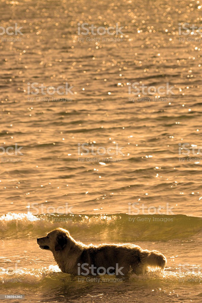 Beach Dog royalty-free stock photo