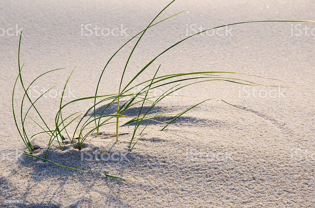 Beach grass in the sand stock photo