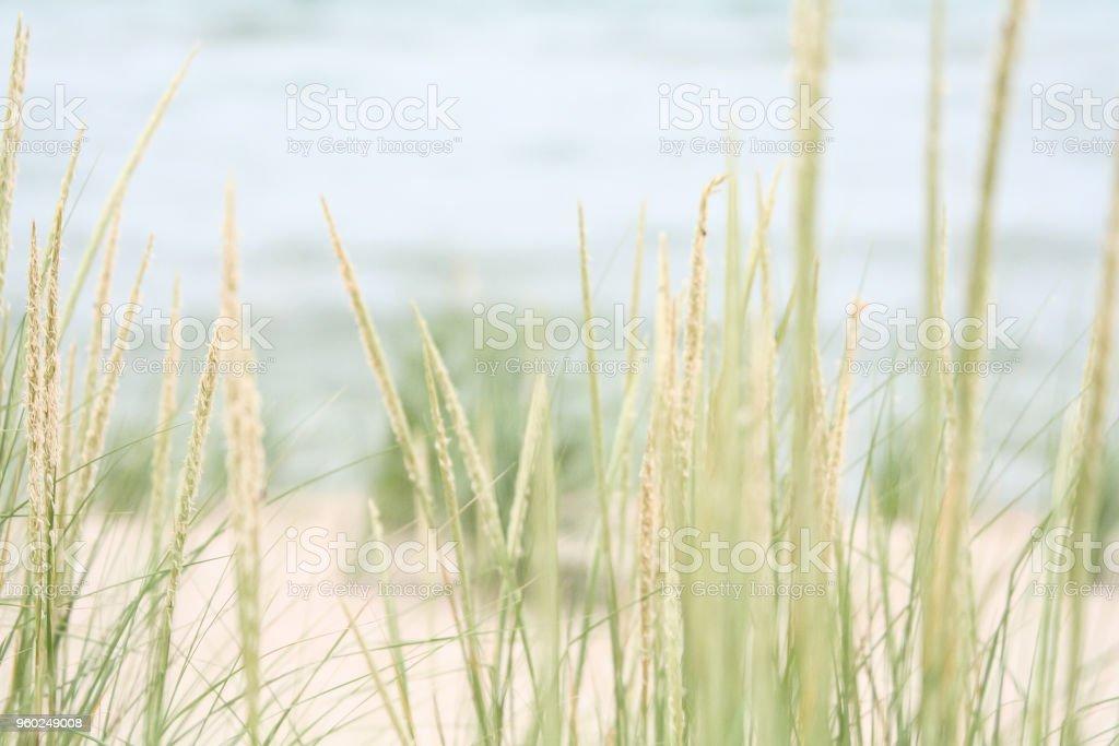 Beach Grass stock photo