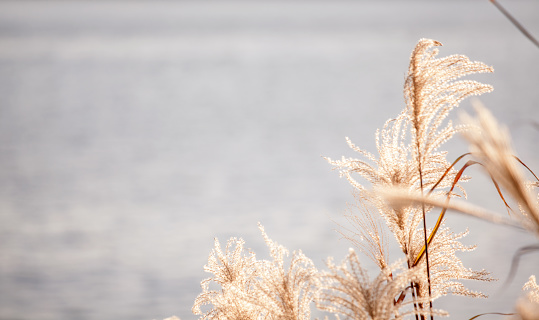 Beach grass reed in front of water