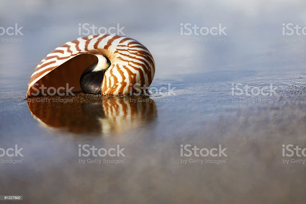 Beach Nautilus - Royalty-free Animal Shell Stock Photo