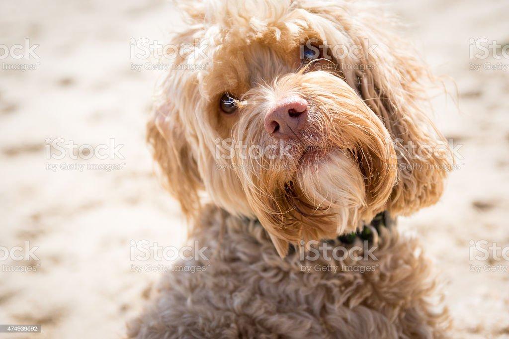Beach Portrait of a Cute Puppy Cockapoo stock photo