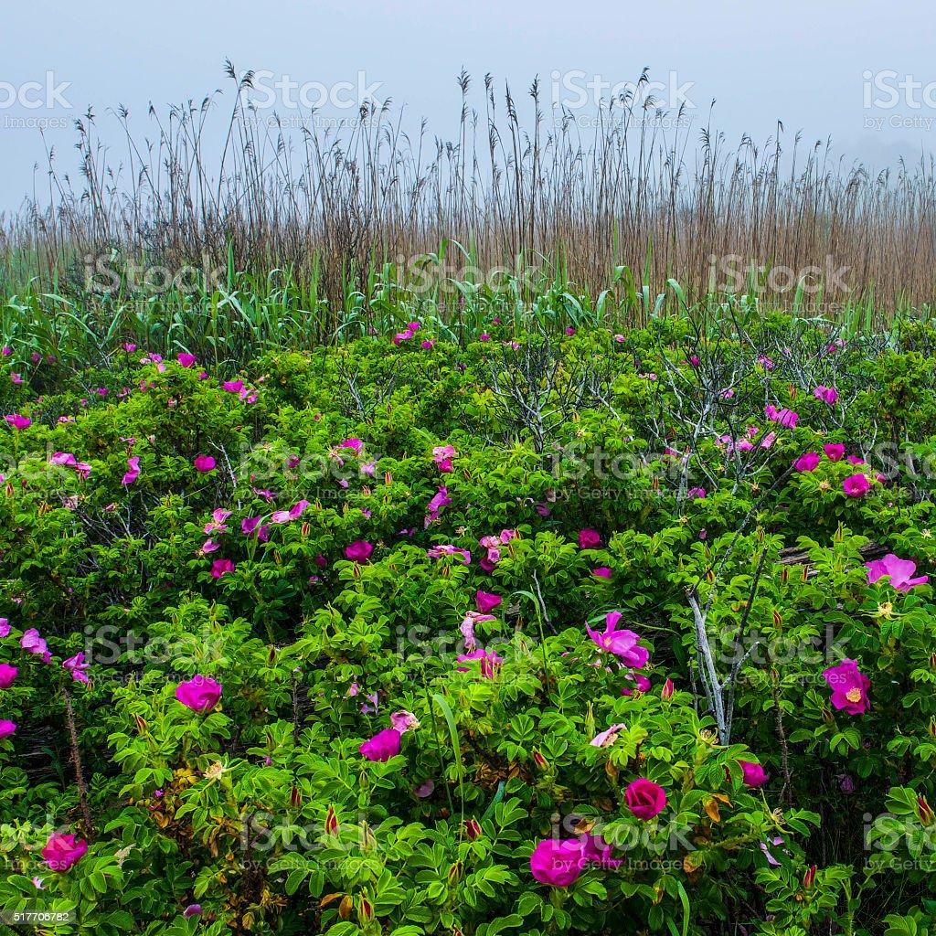 Beach Rose along New England Shore stock photo