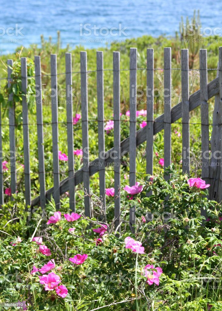 Beach roses growing wild on the New England coast stock photo