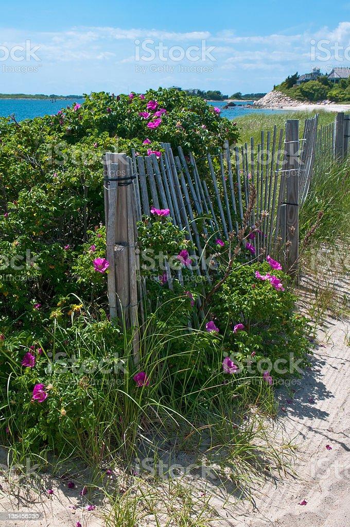 Beach Roses stock photo
