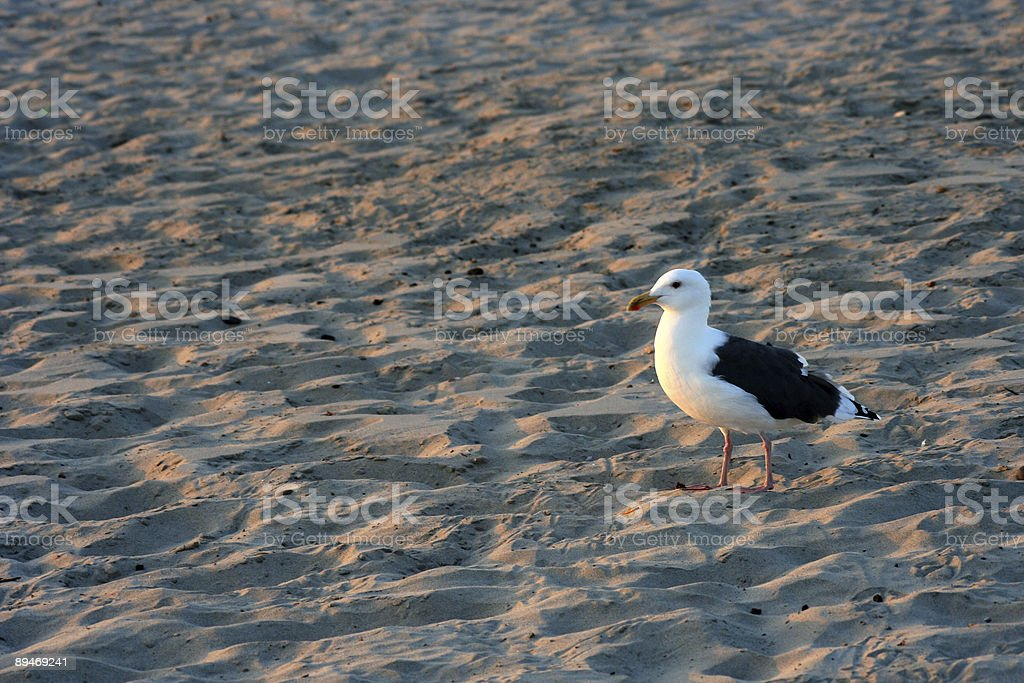 Beach Seagull royalty-free stock photo
