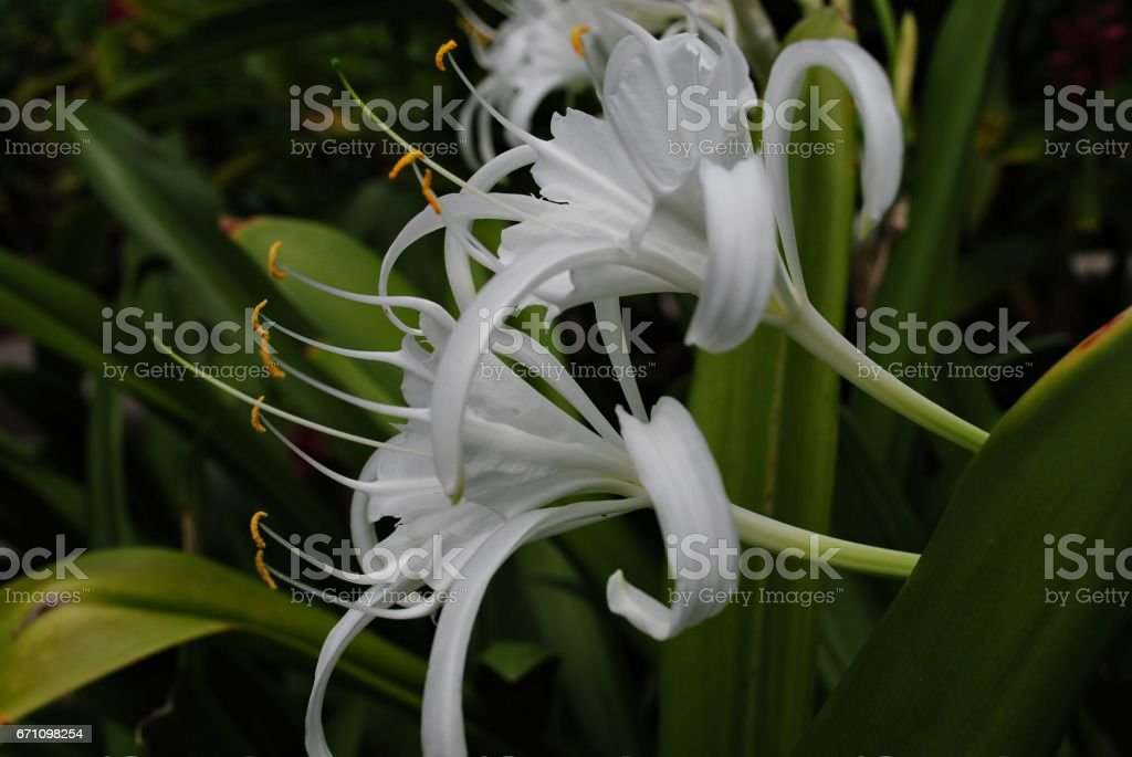 beach spider lily flowers, side view stock photo