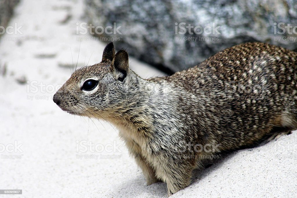 Beach Squirrel Close-up royalty-free stock photo