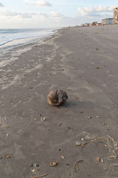 Beached Coconut Coconut washed up by the tide on Cocoa Beach, Florida, USA.  March 5, 2017. michael stephen wills Florida stock pictures, royalty-free photos & images