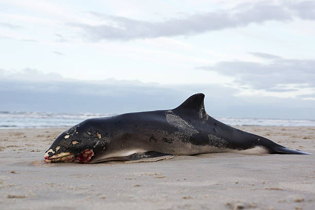 Beached Harbor Porpoise, small whale stock photo