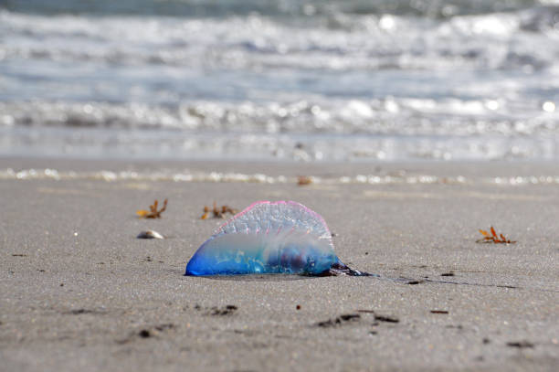 Beached Portuguese Man o' War stock photo