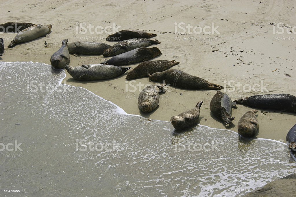 Beached seals royalty-free stock photo