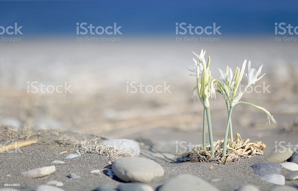 Beachflowers royalty-free stock photo