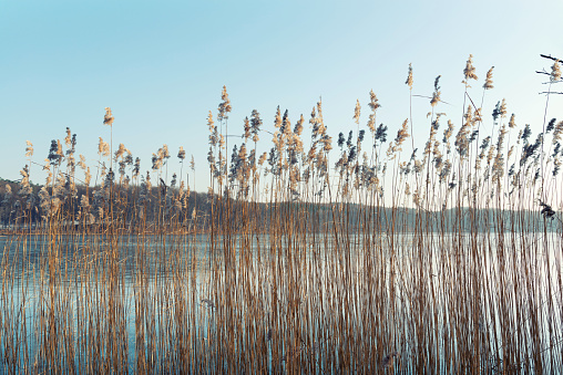 Beachgrass in front of lake in winter