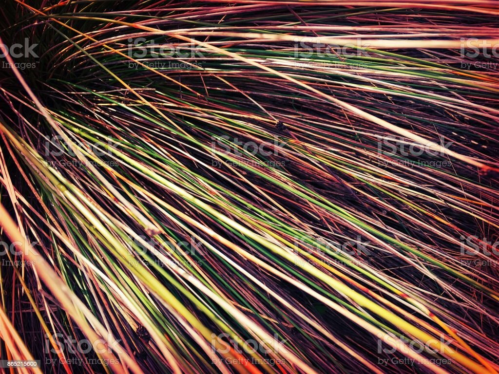 Beachgrass or Marram Grass stock photo