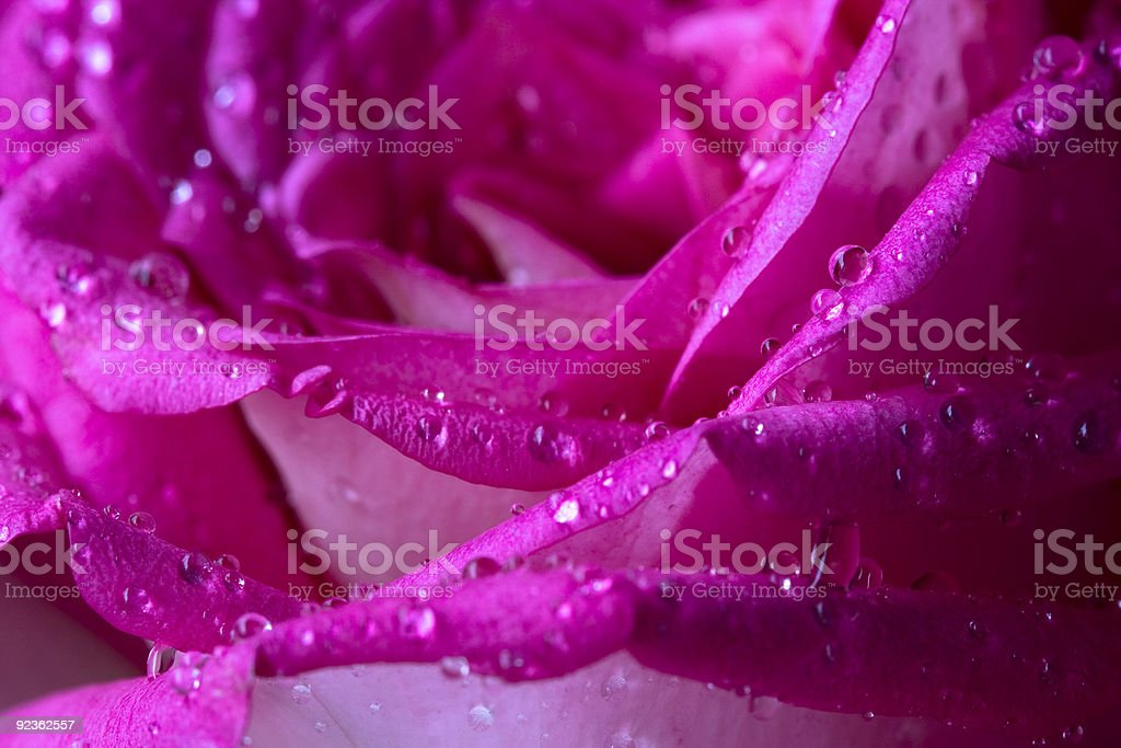 bead on the rose's petal royalty-free stock photo