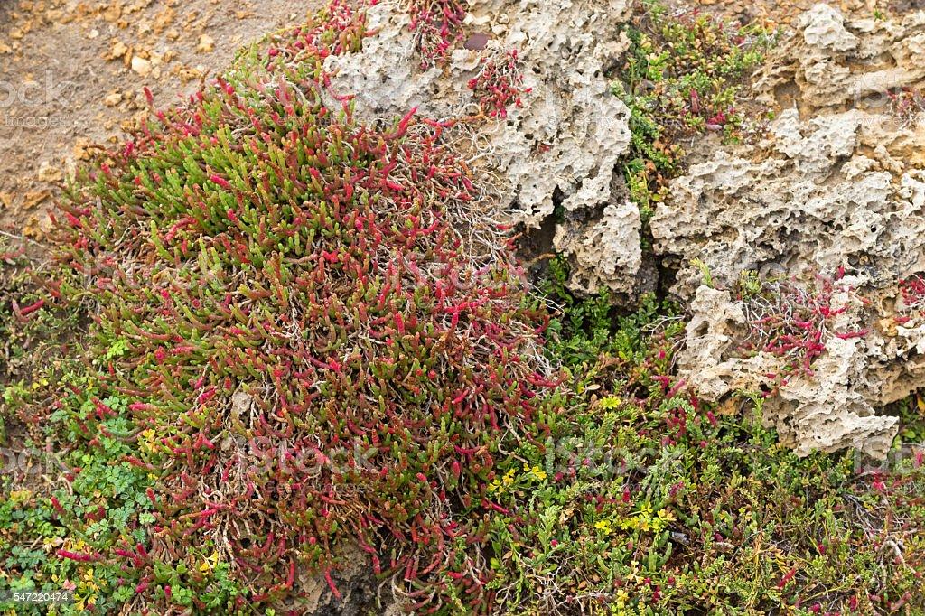 Beaded Glasswort, salt marsh plant, growing on coastal sea cliff stock photo