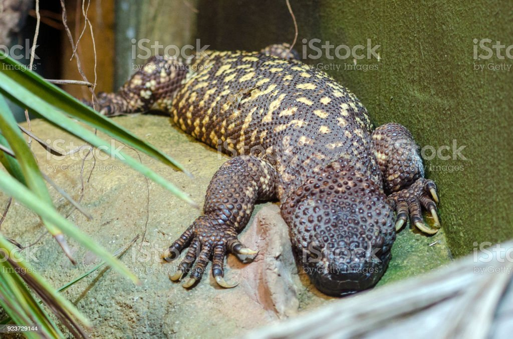 Beaded Lizard stock photo