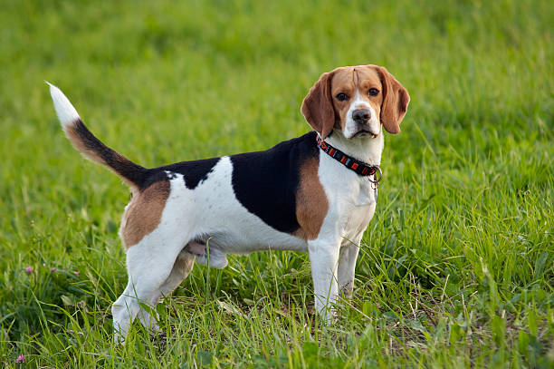 beagel on meadow stock photo