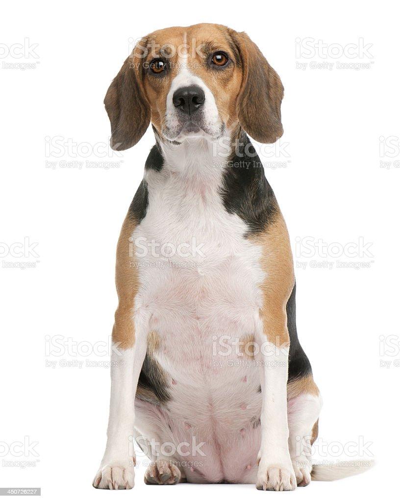 Beagle, 2 años de edad, sentado en frente de fondo blanco - foto de stock