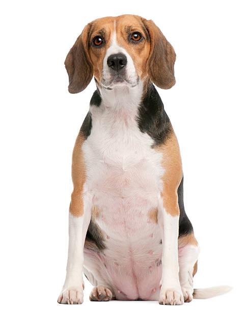 Beagle, 2 Jahre alt, sitzt vor Weißer Hintergrund – Foto