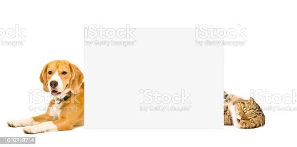 Beagle and cat scottish fold lying behind a banner picture id1010218714?b=1&k=6&m=1010218714&s=612x612&h=5acuv223p8zjwi68sgc3rk4jzrdgqqcihdc1cu1d9ok=