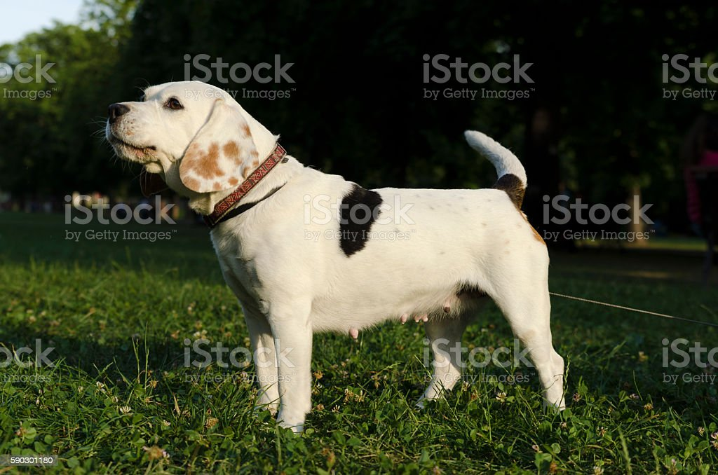 Beagle barking in a city park royaltyfri bildbanksbilder