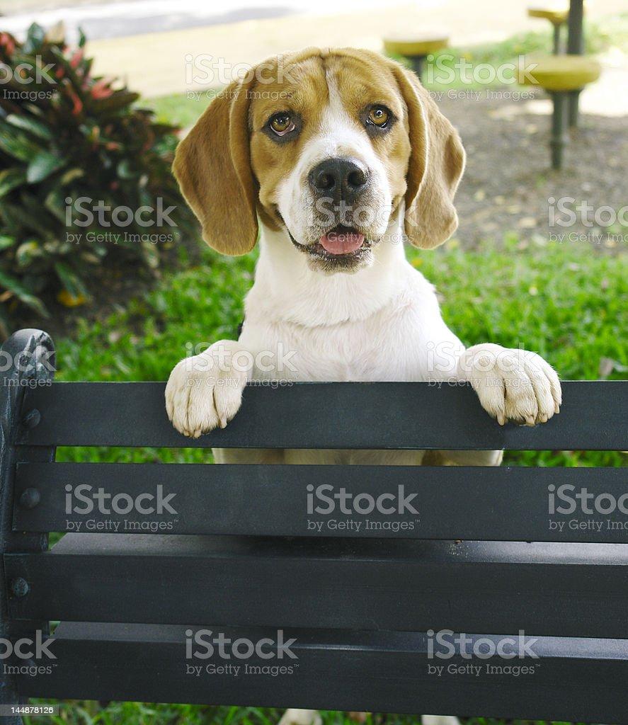 Beagle behind bench stock photo